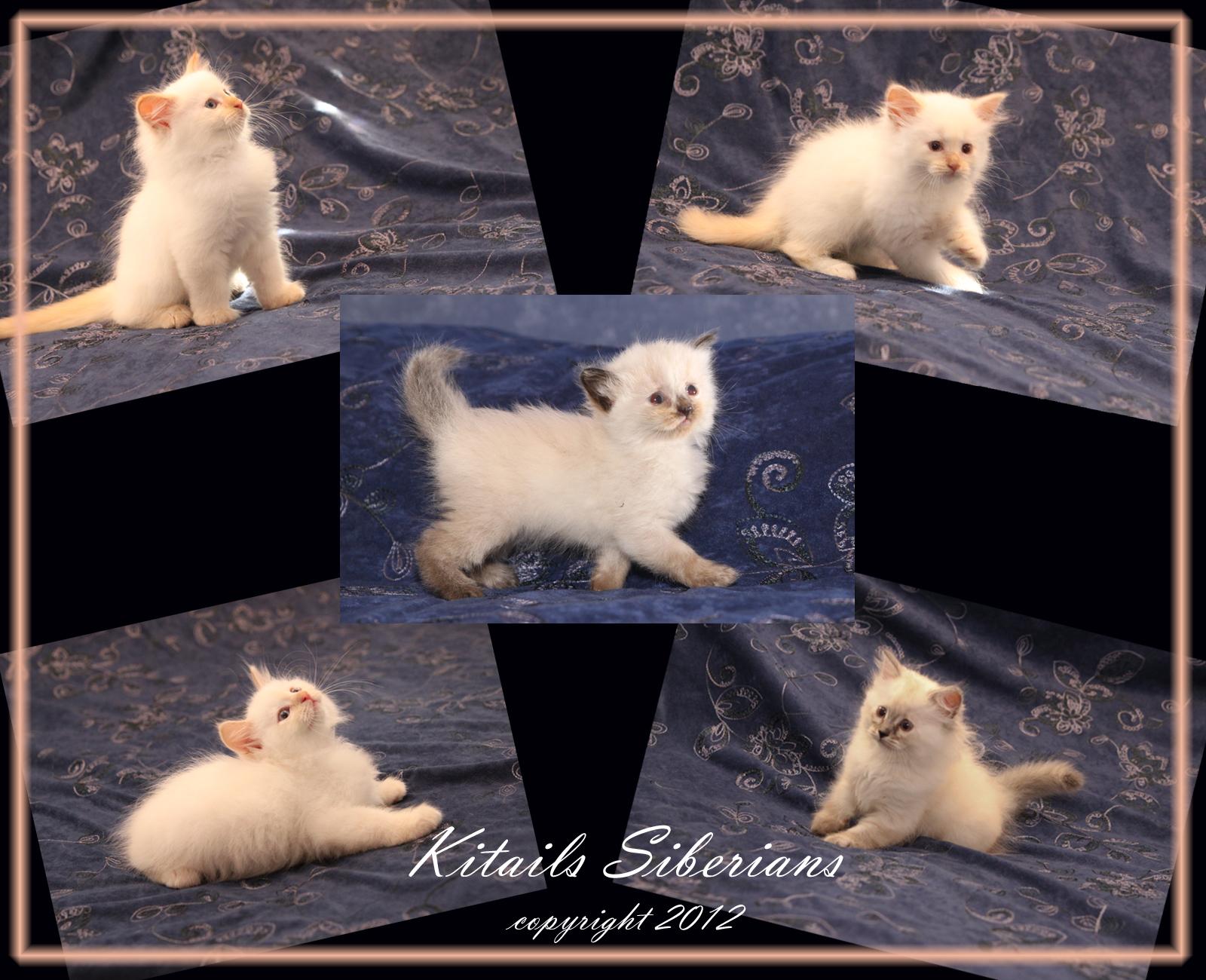 Flame Point Kitten Top left kitten: hermes