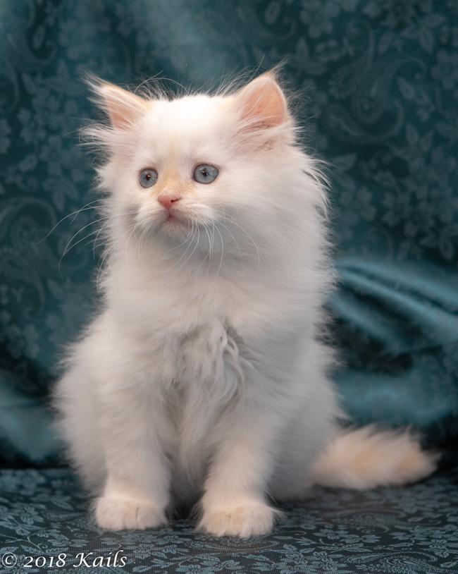 Kitails Siberian Kitten/Cat Breeder